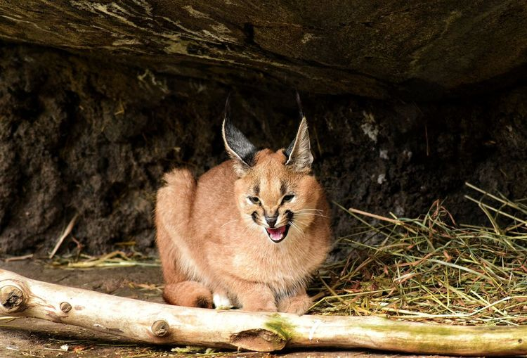 Caracal mewing under cave at zoo