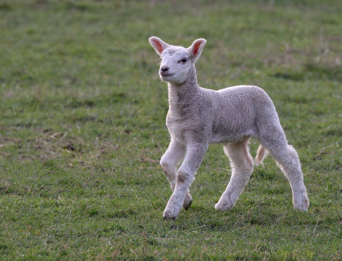 Lamb walking proud Mammal Grass Animal Animal Themes Field Plant Land Domestic Animals Young Animal Day Vertebrate One Animal Standing Nature No People Full Length Animal Wildlife Green Color Portrait Pets Lamb Outdoors Herbivorous