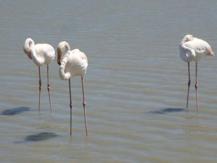 Flamingos On Lake