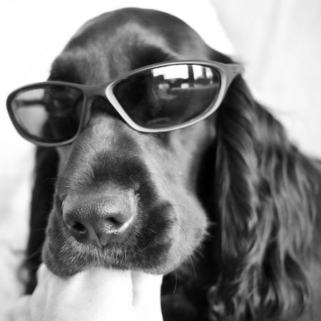 Dog Dogs Spaniel Field Spaniel Blackandwhite Black And White Black & White EyeEm Best Shots - Black + White
