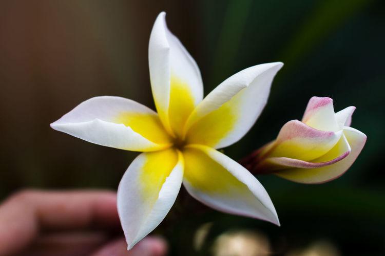 Close-up of white frangipani flower