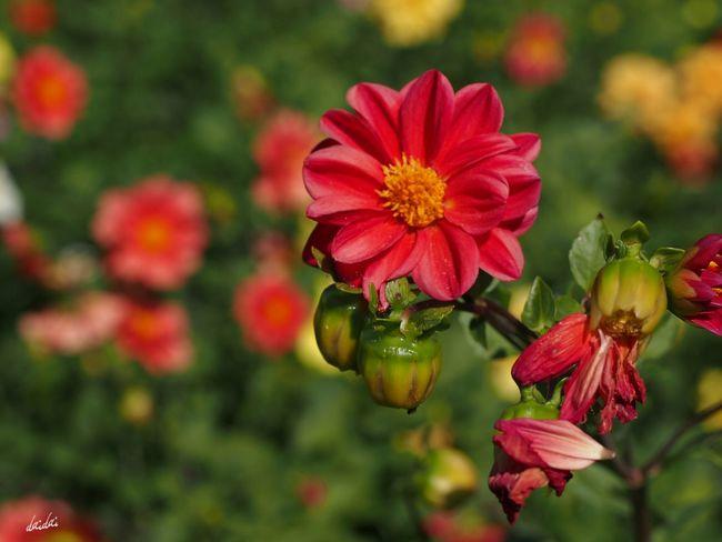 枯れているもの咲いているものこれからのもの E-PL3 Flower Dahlia No Edit/no Filter