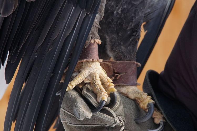 EyeEm Selects Day Close-up Horizon Wings Raptor Rehabilitation And Education Shepaug Dam Southbury,Ct Southbury Ct Eagle American Bald Eagle Bald Eagle Outdoors Animal Wildlife Animal Body Part Bird Of Prey Bird Animal Talons