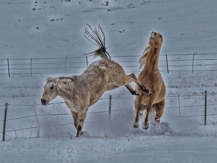 Feb 2019 - Horses competing Mammal Animal Animal Themes Group Of Animals Vertebrate Two Animals Domestic Animals Winter Snow Cold Temperature Animal Wildlife Domestic No People Field Herbivorous Horses Conflict