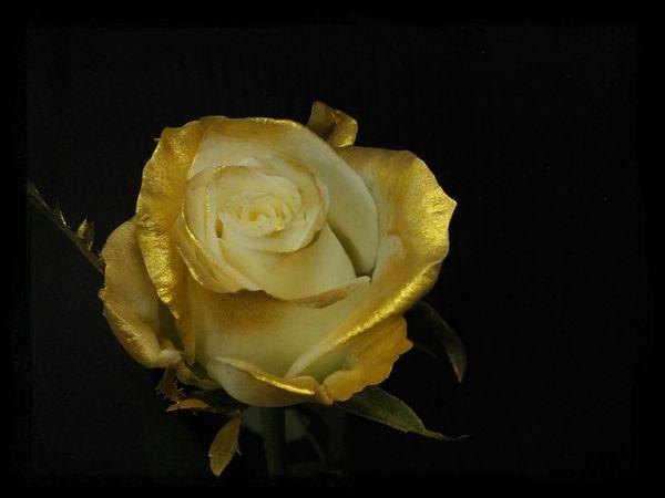 golden rose Flower Beautiful Flower Flowers Cute♡ Flowerporn First Eyeem Photo EyeEm Best Shots