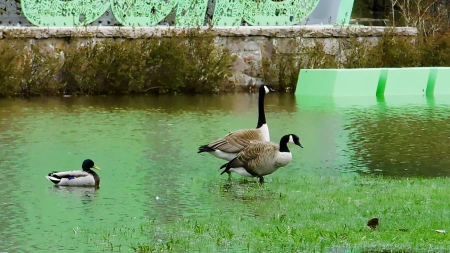 Photo prise le 9 Mais 2017 Reflection Swimming Waterfront Mesphotos Printemps 🌼 Mes Photos Photo♡ Nature Beauty In Nature Green Color Animals In The Wild Animal Wildlife Oies Sauvages Bernache Du Canada Malard Duck The Week On EyeEm
