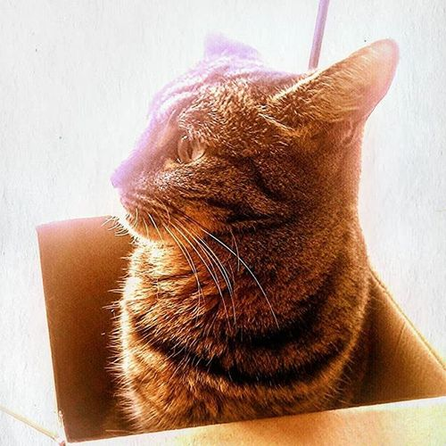 Poppy doesn't need to show love or give love or share love . She IS love ! Poppy Princess Catinabox Catlovers Catsonbermuda Cats Bermuda Islandlife
