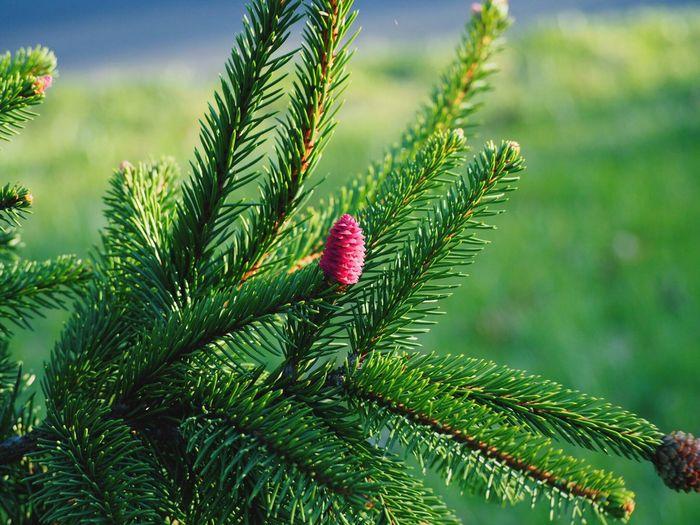 Pine Cones On Plant
