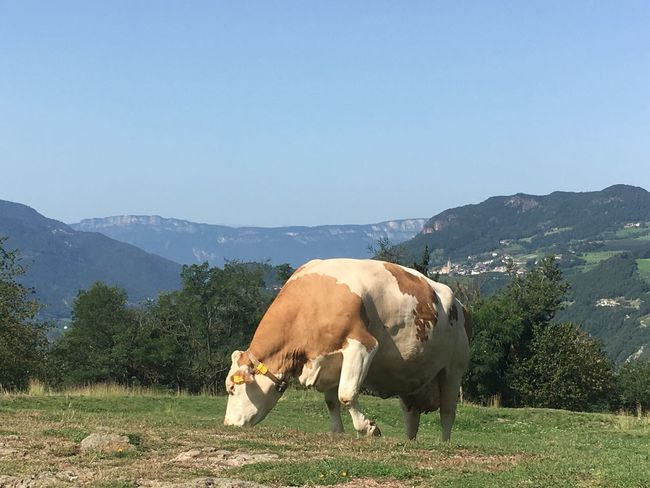 Field Mountain Livestock Mammal Domestic Animals Landscape Nature Animal Themes No People Day Outdoors Grass Clear Sky Cow One Animal Grazing Tree Standing Mountain Range Beauty In Nature