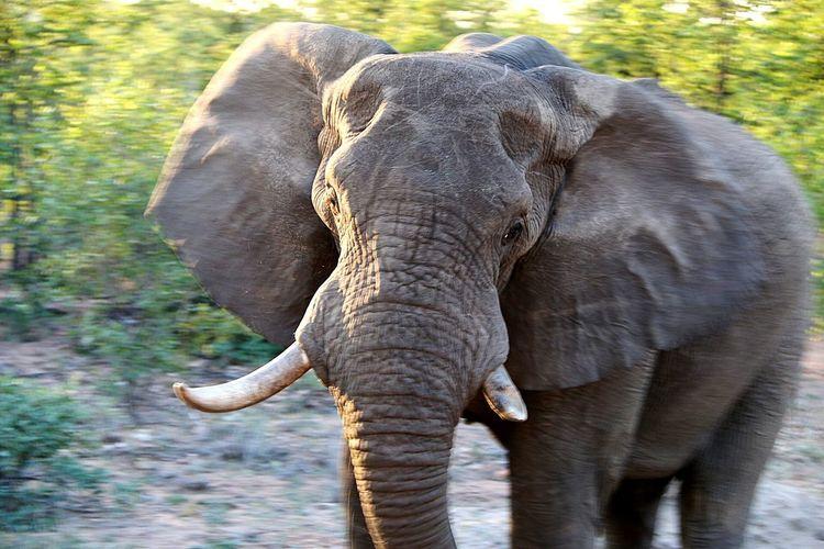 Elephant Africa Wildlife & Nature BIG Magestic
