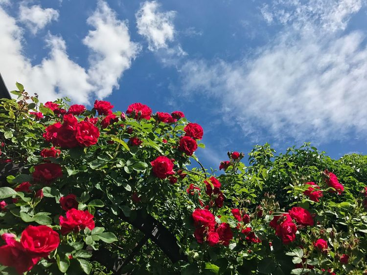 Flower Red Growth Nature Beauty In Nature Fragility Cloud - Sky Plant Petal Sky Blooming Freshness No People Low Angle View Outdoors Day Flower Head Gerrits