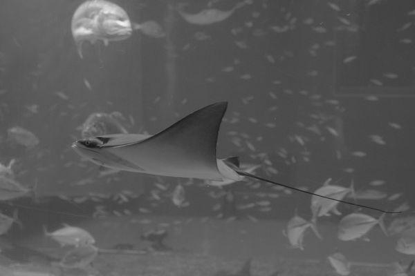 Adapted To The City Aquarium OKINAWA, JAPAN Churaumi Aquarium Stringray Sea Animal