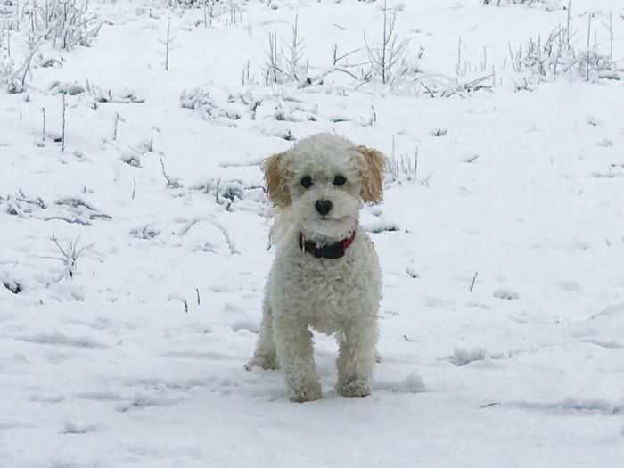 Dog Pets One Animal Mammal Snow White Color Winter Animal Themes Domestic Animals Outdoors