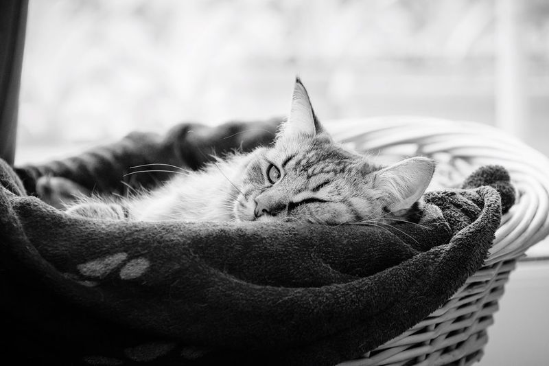 Kitty taking a cat-nap in a basket. Domestic Cat Pets Feline Domestic Animals Animal Themes Cat Relaxation No People Mammal Sleeping Indoors  One Animal Close-up Pixie Bob Pixiebob Kitten Kitty Tabby Tabby Cat Adorable Cat  Adorable Cute Cute Pets Cute Kitten