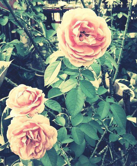 Flowers Garden Roses Nature