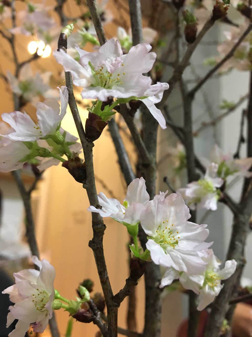 flowering plant, flower, plant, beauty in nature, vulnerability, fragility, growth, freshness, petal, white color, close-up, focus on foreground, nature, no people, tree, flower head, inflorescence, blossom, day, springtime, outdoors, pollen, cherry blossom, spring