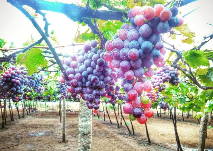 Agriculture Awsome Bunch Crop  EyeEmNewHere Food And Drink Freshness Fruit Grape Grapefield Grapefruit Growth India Kerala Love Nice Photographer Photography Photooftheday Picoftheday Plant Tamilnadu Tree Vine - Plant Vineyard