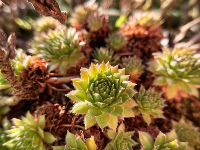 Close-up of succulent plant growing on field