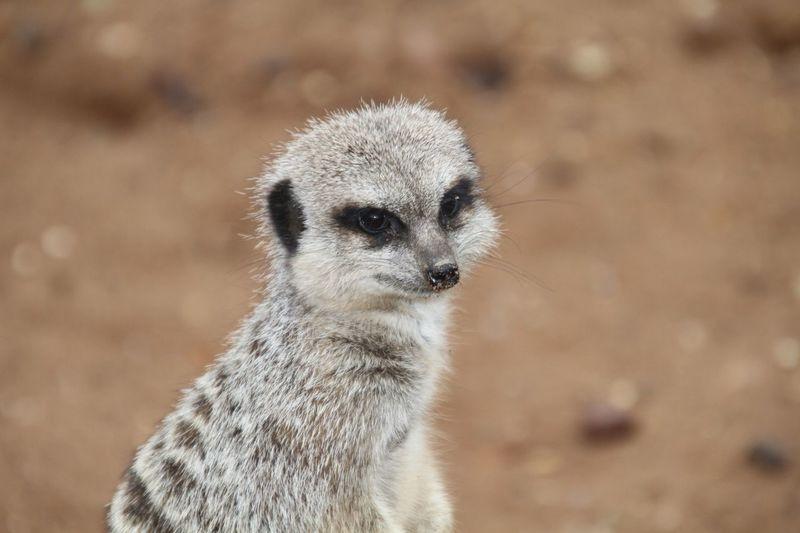 Meerkat Zoo Close-up