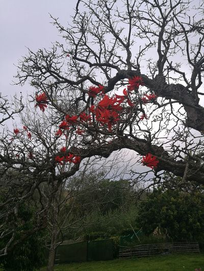 Erythrina Tree Branch Low Angle View Tranquility Beauty In Nature Growth Bare Tree Nature Tranquil Scene Scenics Day Sky Non-urban Scene Red Outdoors Solitude Remote Majestic Vibrant Color