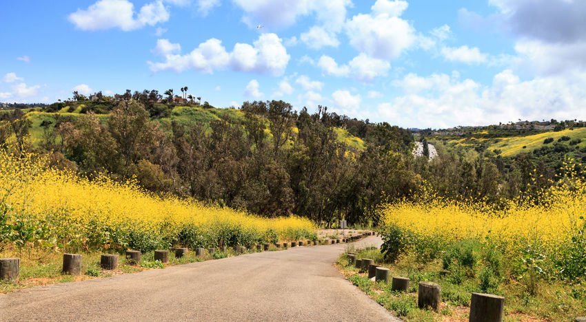 Aliso Viejo Wilderness Park view with yellow wild flowers and green rolling hills from the top hill in Aliso Viejo, California, United States Aliso Viejo Aliso Viejo Wilderness Park Blue Sky California Green Hills Hilltop Hilltop View Journey Landscape Mountains Nature Panorama Panoramic Path Road Summer Trail View Wilderness Wilderness Area Wilderness Park Yellow Flowers