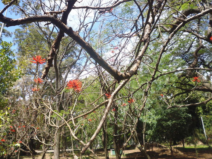 Erythrina Flowers Erythrina Month Of September Parque Da Luz Susan A. Case Sabir Unretouched Photography Beauty In Nature Branch Close-up Day Downtown São Paulo Flower Flower Photography Freshness Growth Nature No People Outdoors Tree
