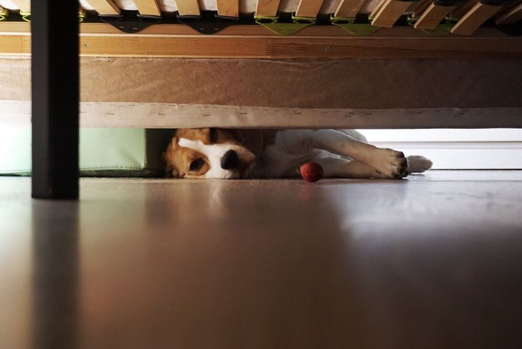 Pets Dog Beagle Frustration One Animal Domestic Animals Animal Themes Lying Down Mammal Indoors  Bed Bedroom Home Interior Day Ball Toy Reaching Too Big Dogslife Under The Bed The Secret Spaces Pet Portraits