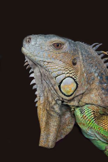 very close upright portrait photograph of the head of a iguana against a dark background Exotic Creatures Animal Scale Animal Themes Animal Wildlife Animals In The Wild Black Background Close-up Iguana Lizard No People One Animal Reptile