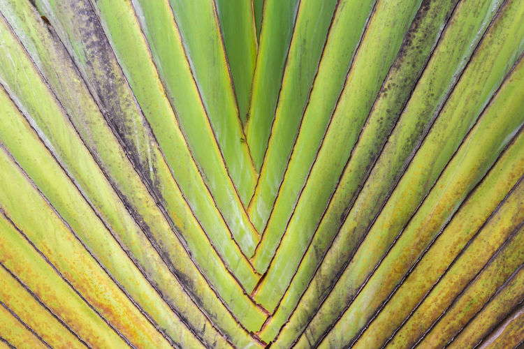 Pattern of traveller palm tree(Ravenala Madagascariensis) Abstract Background Biology Botany Complexity Environment Foliage Green Growth Leaf Nature Organic Palm Tree Pattern Photosynthesis Ravenala.  Simplicity Surface Texture Traveller Palm Tree Tropical Plants