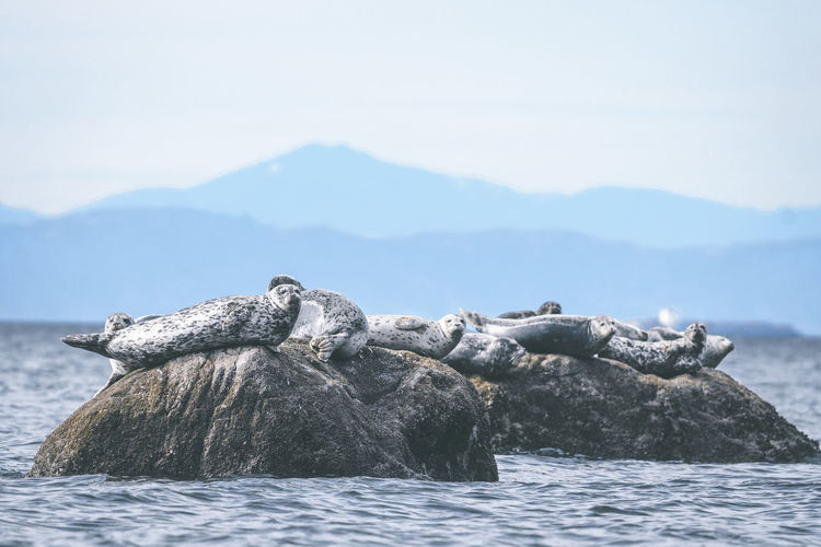 Seal On Rock In Sea