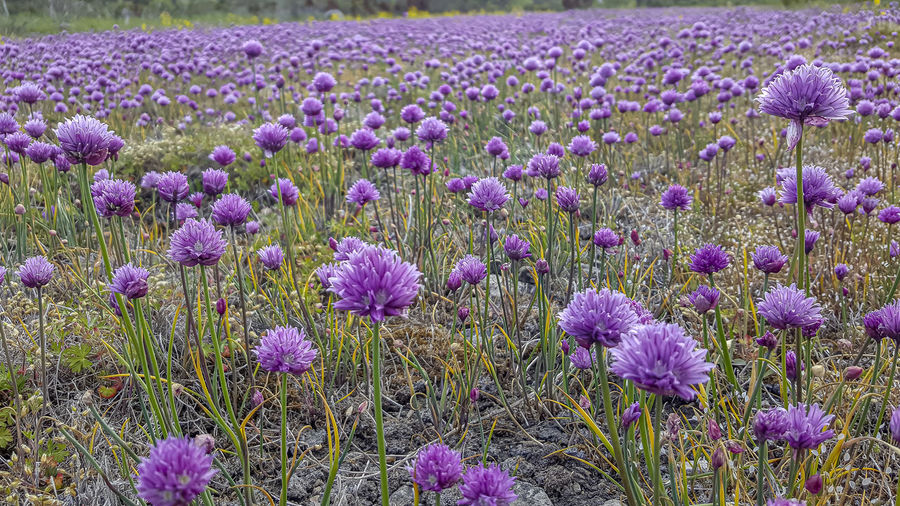 A summer field full of blossoming chives, all in purple. Byxelkrok Europa Europe Gräslök Neptuni åkrar Norden Sverige Sweden Växt Öland Flower Flowering Plant Plant Beauty In Nature Growth Purple Land Freshness Field Vulnerability  Fragility Nature No People Close-up Flower Head Day Lavender Abundance Flowerbed Inflorescence Outdoors Springtime Iris Crocus Chives Blossom