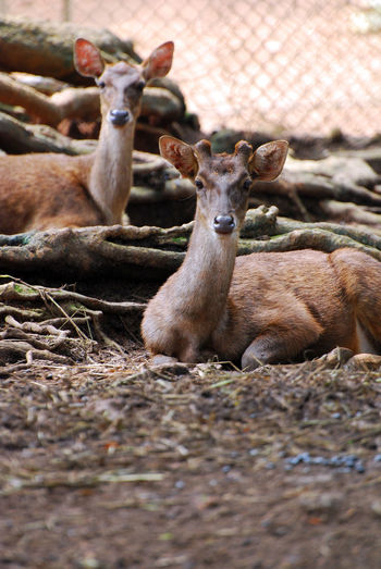 The Mouse Deers