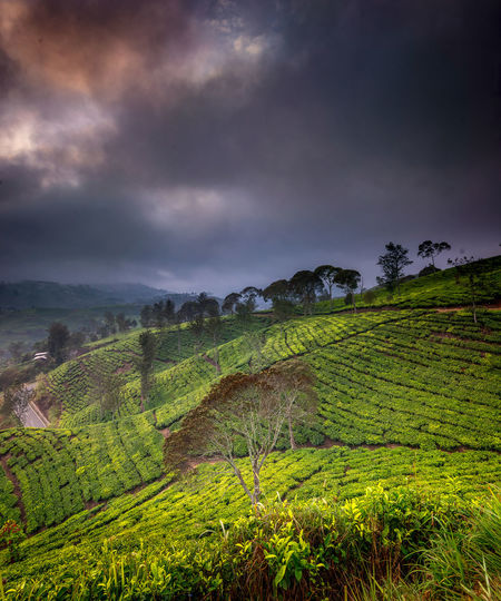 Tea Crop Rural