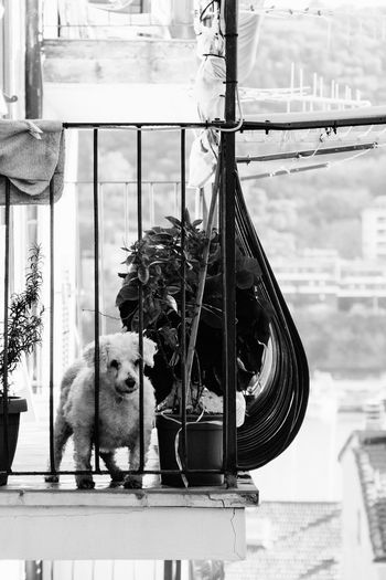 Guardian of the balcony Animal Themes Day Dog Domestic Animals Indoors  Mammal No People One Animal Pets Portrait Window Window Sill