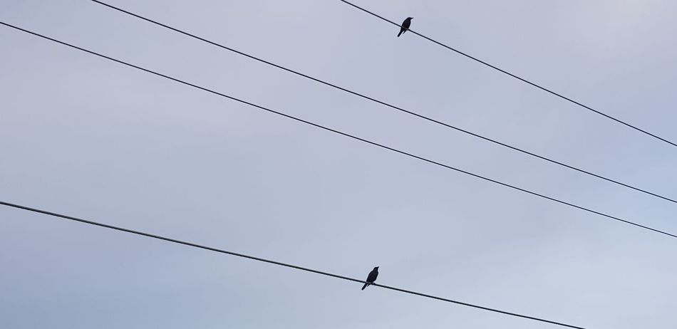 Bird Cable Animals In The Wild Animal Themes Animal Wildlife Perching Power Line  Telephone Line Power Supply Electricity Pylon Electricity  One Animal Silhouette Connection Flock Of Birds Day Low Angle View Technology Animals In The Wild Domestic Animals Close-up Eyeem Philippines Eyeem Photography Outdoors Raven - Bird