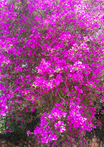 Abundance Of Flowers Bougenvillea Bougenvillia Flowers Nature Nature_collection Pink Flowers Pink Flowers In Bloom