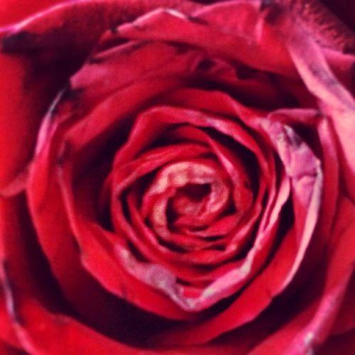 Redrose  Red Love