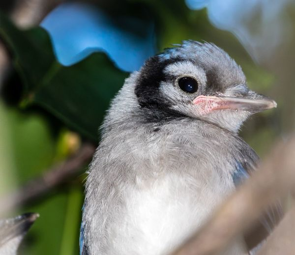 Baby Blue Jay Baby Blue Jay. Baby Bird Baby Jay Blue Jay Bird Animal Themes One Animal Close-up Animals In The Wild Beak No People Day Animal Wildlife Focus On Foreground Nature Outdoors Perching