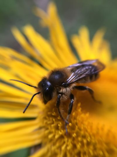 Close-up of bee pollinating on yellow flower growing at field