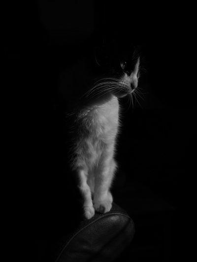 Cute cat Cat Black And White Cat Kitten Kittens Of Eyeem Kitten Adorable Lowkey  Lowkeyphotography Blackandwhite Studio Shot Black And White Collection  Black And White Portrait Fineartportrait Cat Black And White