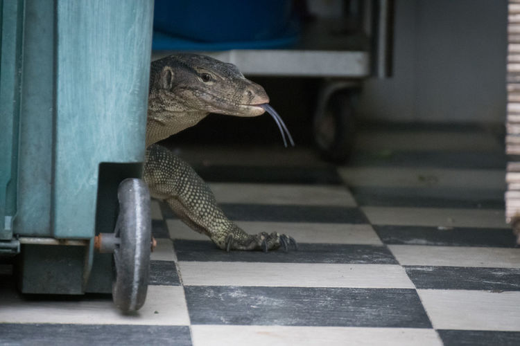 hungry in the kitchen Conflict Domestic Animals Goanna Hungry Kitchen Monitor Lizard Tongue Waran