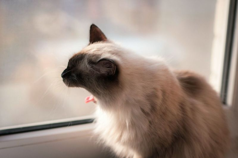 Siamese Cat Gazing Out Window