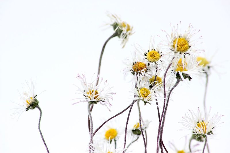 Close-up of yellow cosmos flowers against clear sky
