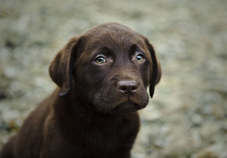 Close-up of chocolate lab puppy