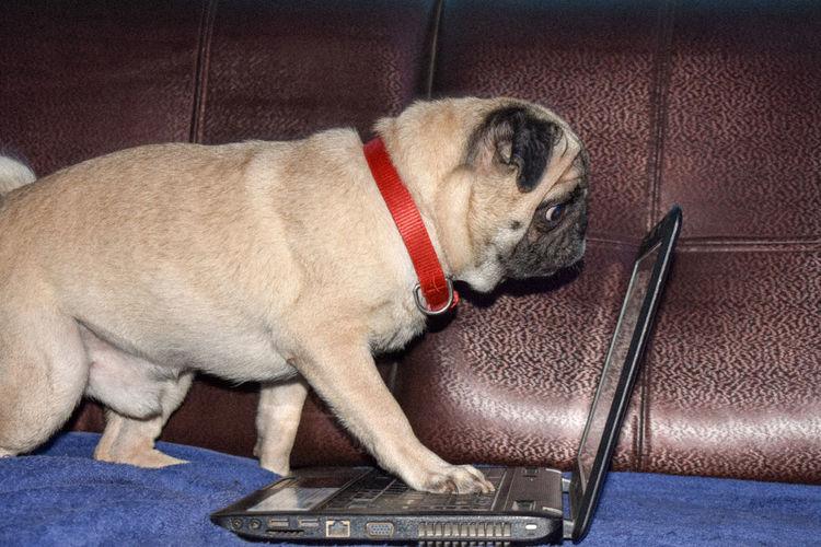 Pug dog play with Laptop EyeEm Selects Pets Dog Bulldog First Eyeem Photo