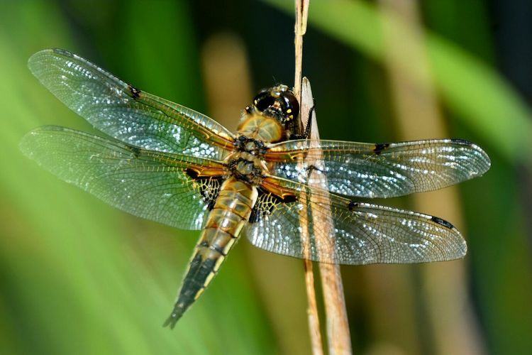 dragonfly NikonD5500 Beauty In Nature Insect Animal Wildlife Animals In The Wild One Animal Animal Themes Day Focus On Foreground Nature No People Close-up Outdoors