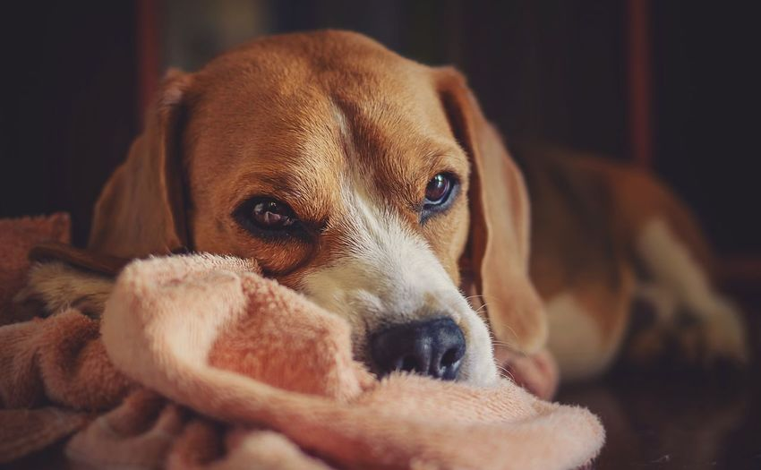 Light And Shadow Colorpallet Colorpallete Pet AnimalTheme Pose Looking Domesticanimals Canine Indoors  Friendforever PortraitPhotography Tranquility 35mm Dogphotography Rest Concentration Réflexion Modeldog  Model Orange Brown Innocence Beagle Pets Portrait Dog Puppy Looking At Camera Close-up