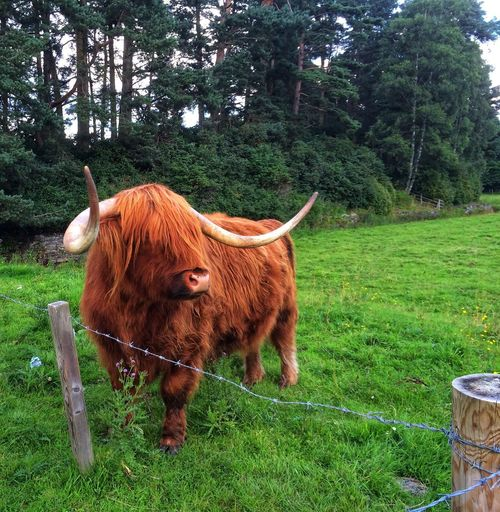 Highland Cow in Scotland Highland Cow Highland Coo Highland Cattle Scotland Highlands Scottish Highlands Highlands Highlands Scotland Scotland Scottish Plant Mammal Animal Themes Animal Domestic Animals Domestic Pets One Animal Cattle Livestock Domestic Cattle Field No People Growth Green Color Land Nature