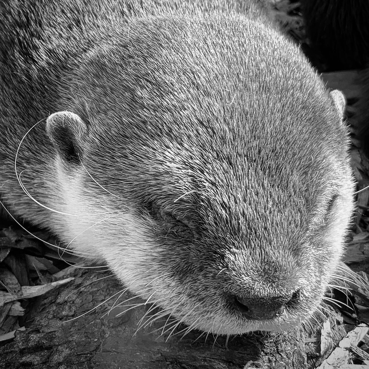 mammal, one animal, animal, animal themes, animal wildlife, close-up, animals in the wild, no people, vertebrate, animal head, animal body part, underwater, day, outdoors, nature, relaxation, focus on foreground, otter, whisker, animal hair, snout, animal nose