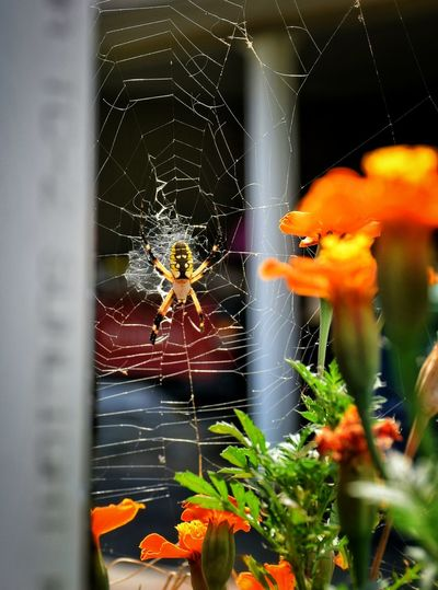 I know you may tire of seeing my little friends , but they are so beautiful and are only here with me such a short time! i must photograph her dveryday! Spider Web Argiope Argiop Zigzagweb Thesmallestlittlethings Happigramma Godsartwork Godmadeitall Summersplendor EyeEm Best Shots EyeEm Nature Lover Everythingisbeautiful Eyeemthisweek EyeEm Best Shots - Nature Iseeinpictures Ilovephotography Nikonphotographer Perspective Animal Themes Nikonlove Beauty In Nature No People NikonLife Zigzag CharlottesWeb